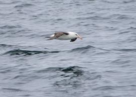 Black-browed Albatross-3