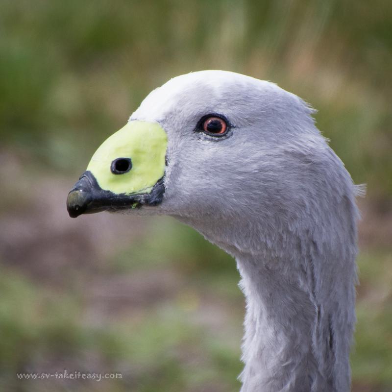 Cape Barren Goose portrait