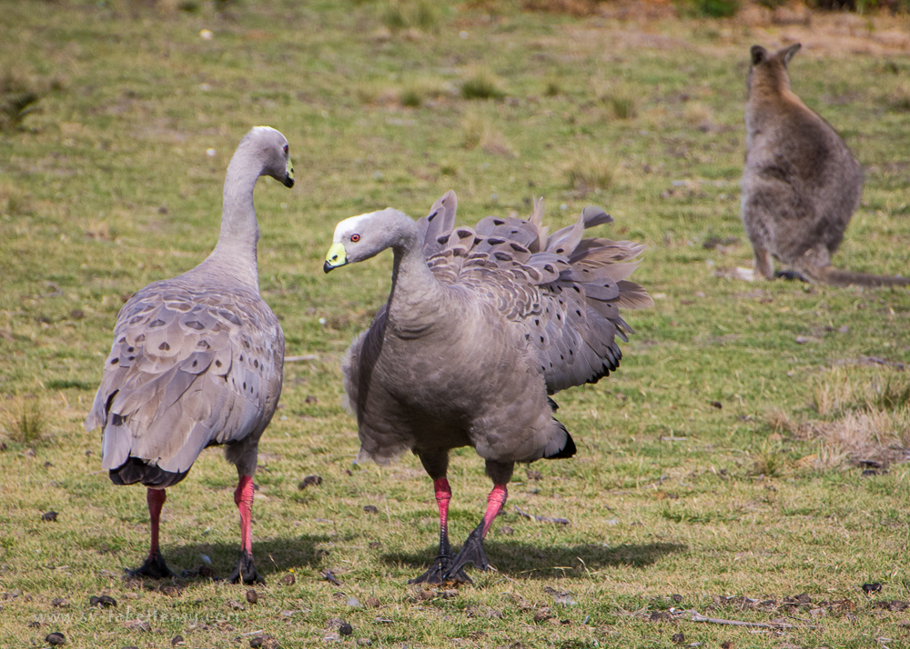 Territorial Cape Barren Geese