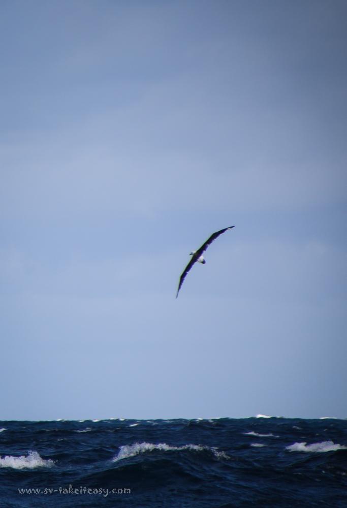 Shy Albatross in flight