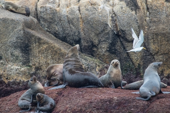 Rag Island Fur Seals