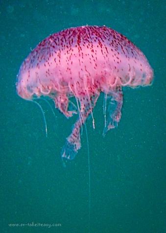 Jellyfish (Chrysaora wurlerra)