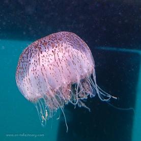 Jellyfish Chrysaora wurlerra