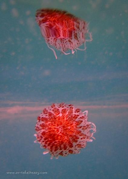 Chryasora wurlerra jellyfish