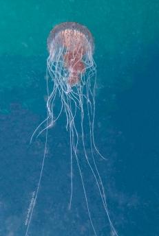 Chrysaora wurlerra Jellyfish