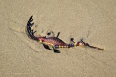 Leafy Sea Dragon washed up