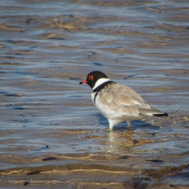 Hooded Plover at Kitty Miller Bay