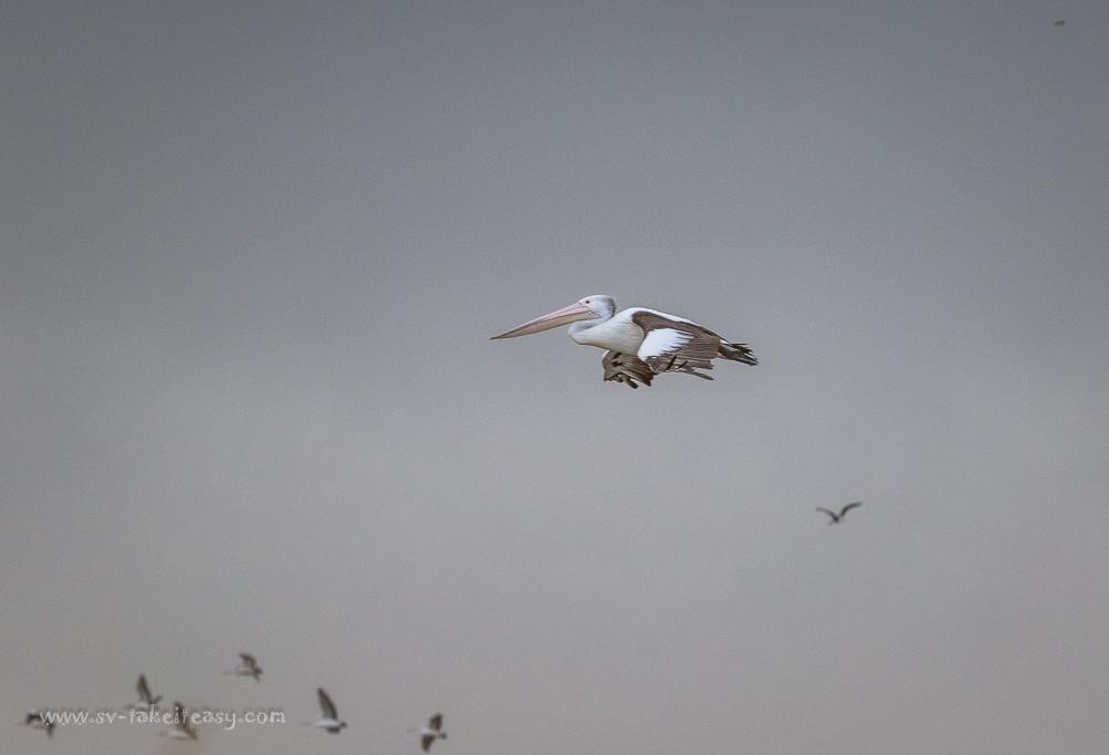 Soaring pelican at Port Albert
