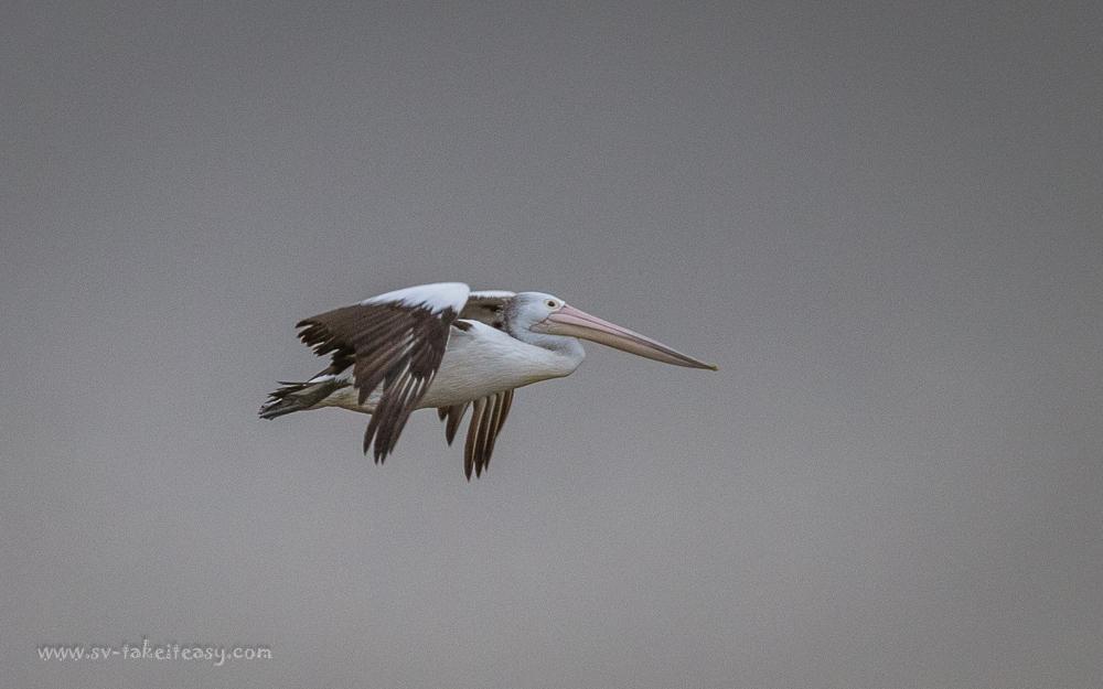 Pelican soaring at Port Albert