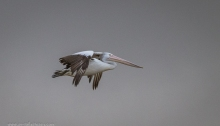 Pelican soaring at Port Albert