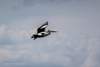 Soaring Pelican at Port Albert