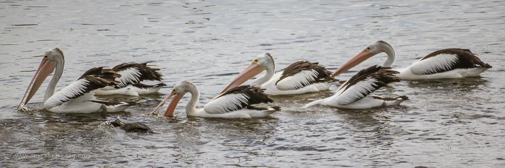 Feeding Pelicans at Bermagui