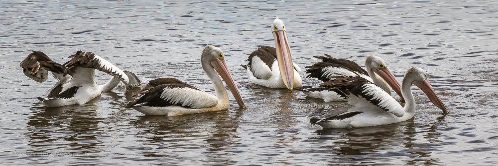 Feeding Pelicans at Bermagui