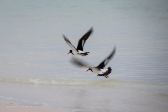 Pied Oystercatchers taking off