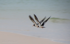 Pied Oystercatchers in flight