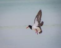 Pied Oystercatcher takeoff