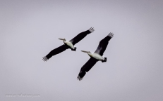 Australian Pelican soaring