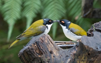 White-naped Honeyeaters