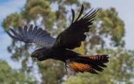 Red-tailed Black Cockatoo in flight