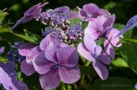 Hydrangeas in the gardens