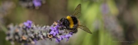 Bumble bee in Dad's garden