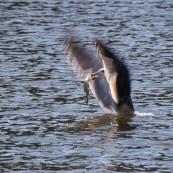 Fishing seagull