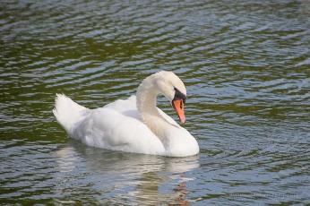 Elegant white swam