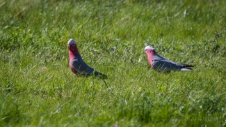 Galahs in field at Modewarre