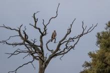 Whistling Kite perching