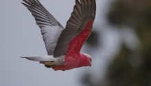 Galah in flight, Lake Borrie