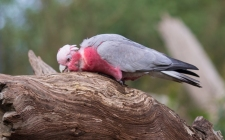 Galah at Healesville