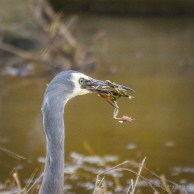Close up of heron with frog