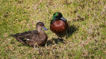 Chestnut Teal Couple