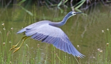 White-faced Heron aloft, Lake Pertobe