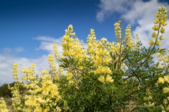 Sweet smelling Yellow Lupines