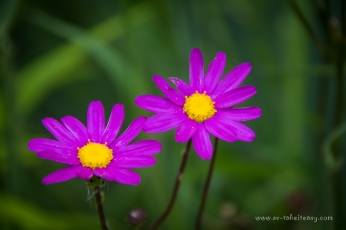 Pink Daisies along the coastal tracks