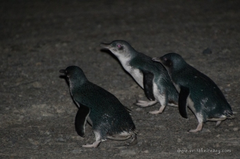Little Penguins heading for their burrows