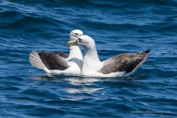 Pair of Shy Albatrosses greeting each other with their beak