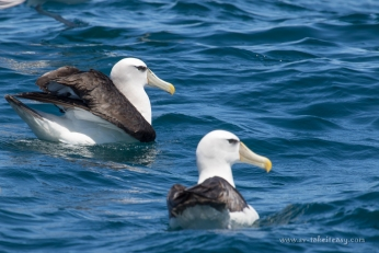 Shy Albatrosses floating around