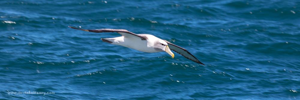 Determined looking Shy Albatross