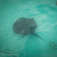 Large black stingray next to the boat