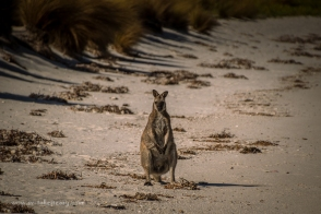 Bennett Wallaby on Badger Island beach