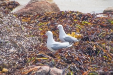 Gulls in kelp