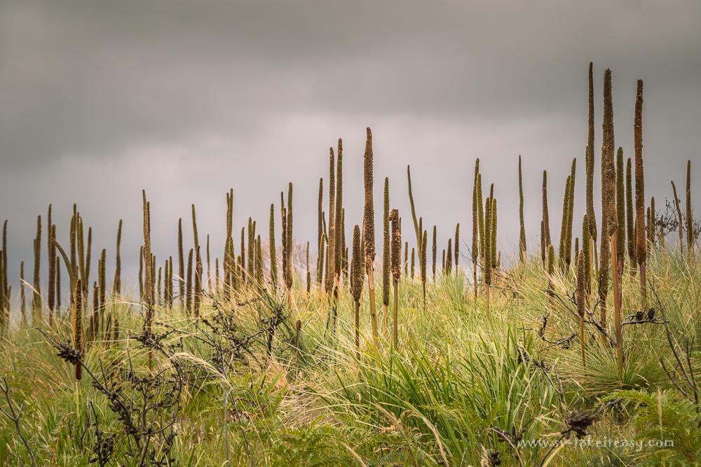 Grass trees at Tomahawk Beach