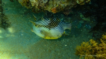Ornate Cowfish - photographed by Wade