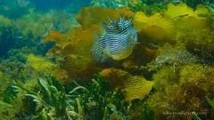 Ornate Cowfish pursued by Wade - they don't swim very well but are very pretty!