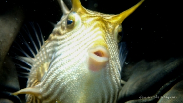 A perplexed Ornate Cowfish