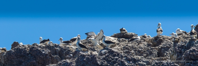 Albatross Island