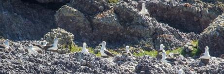 Shy Albatross Rookery at Albatross Island