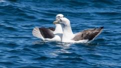 Shy Albatross pair